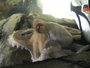 Paul the psychic Octopus Wikimedia