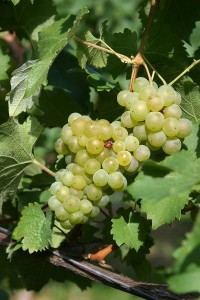 Bacchus grape via Wiki