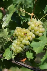 Bacchus grape via Wiki